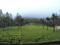 Munnar Tea Plantations, Kerala