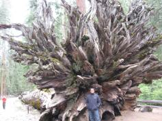 Near the roots of a fallen giant Sequoia