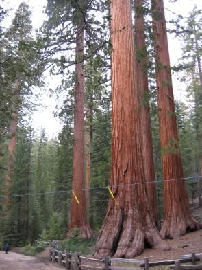 Giant Sequoias, Maricopa Grove, CA